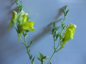 Dalmatian Toadflax flower