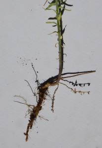 Toadflax root system