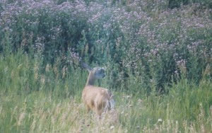 1988 July Canada Thistle and deer from Yvonne Micke